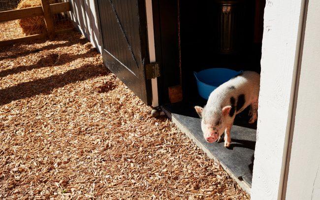 HDA-Balaclava_pet pig